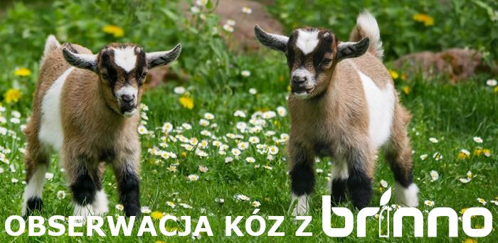 Brinno w eksperymentach akademickich – obserwacja kóz